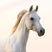 Respiration du cheval